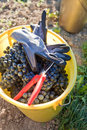 Bucket full with wine grapes Royalty Free Stock Photo