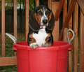 Bucket hound Royalty Free Stock Images