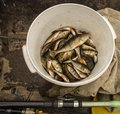 Bucket of perch caught from lake Royalty Free Stock Images