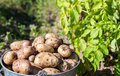 A bucket of potatoes new harvesting in the garden closeup Royalty Free Stock Images