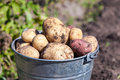 A bucket of potatoes new harvesting in the garden closeup Royalty Free Stock Photography