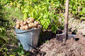 A bucket of potatoes new harvesting in the garden closeup Stock Photo