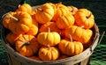 Bucket of pumpkins Royalty Free Stock Photos
