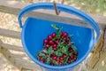 Bucket of ripe sour cherries Royalty Free Stock Photo