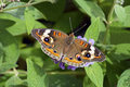Buckeye Butterfly on Butterfly Bush Stock Photo
