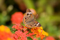 Buckeye butterfly common feeding on lantana flowers Stock Photo