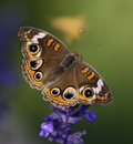 Buckeye butterfly in a garden in missouri Royalty Free Stock Image