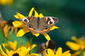 Buckeye Butterfly on the sunflower Royalty Free Stock Photo
