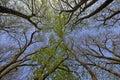 Buckeye Tree In Spring