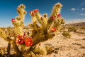 Buckhorn cholla flowering with southwest desert in background Royalty Free Stock Image