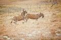 A bucking donkey Royalty Free Stock Photo