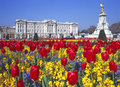 Buckingham palace and the victoria memorial spring display of tulips in front of london england Stock Photos