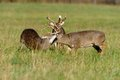 Bucks fighting Royalty Free Stock Photo
