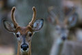 Bucks fuzzy horns two young deer with furry with black eyes and wet noses Stock Images