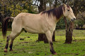 Buckskin horse taking a piss Royalty Free Stock Photo