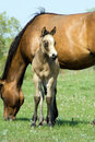 Buckskin quarter horse foal Stock Photos