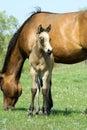 Buckskin quarter horse foal Royalty Free Stock Photo
