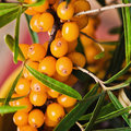 Buckthorn branch with berries close up Royalty Free Stock Images
