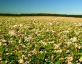 Buckwheat field Royalty Free Stock Photos