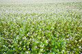 Buckwheat field Stock Images