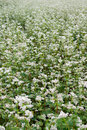Buckwheat field blooming in sommer Royalty Free Stock Image