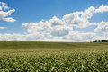 Buckwheat field on blue sky background Royalty Free Stock Photo