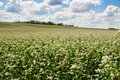 Buckwheat field on blue sky background Royalty Free Stock Photos