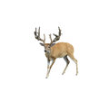 Bucky male white tail deer with huge antlers Royalty Free Stock Images