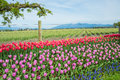 Bucolic rural spring landscape farmland and flowers rows of grape hyacinth tulips daffodils along wire fence with mountain in Royalty Free Stock Photo