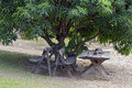 Bucolic scene with mango tree and wooden benches holambra sp brazil may Royalty Free Stock Photography