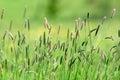 Bucolic Walk In The Green Fields