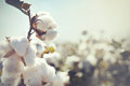Bud cotton rop Royalty Free Stock Photo