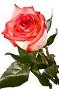Bud, flower, bright rose