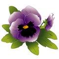 Bud lavender pansy Arkivfoto