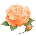 Bud morelowy rose Obraz Stock