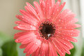 Bud of pink gerbera flower closeup. Dew and water droplets on the petals. Macro. Stock photo