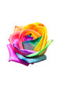 Bud rainbow roses on white background Royalty Free Stock Photography