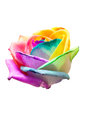 Bud rainbow roses on white background Stock Image