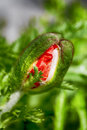 Bud of red poppy. Royalty Free Stock Photo
