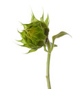 Bud of sunflower