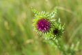Bud of thistle. Royalty Free Stock Photo