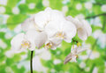 Bud of white orchid against green foliage Stock Image