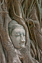 Buddha head encased in tree roots Royalty Free Stock Photography