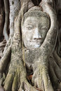 Buddha head entangled by fig tree Royalty Free Stock Photo