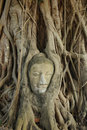 Buddha head s tree Royaltyfri Foto