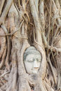 Buddha head in tree encased fig roots at wat mahathat ayutthaya thailand Royalty Free Stock Image