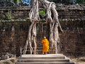 Buddhist monk examining giant tree roots at angkor temple cambodia orange robed looking up growing over the ruins of ta prohm in Stock Images
