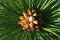 Budding Austrian pine tree Royalty Free Stock Photo