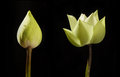 Budding and blooming lotus on black background Stock Photos