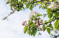 Budding and blossoming branches of a crabapple tree closeup blooming with young green leaves at against blue sky Stock Photos